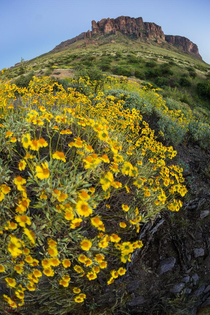 superstitionflowers-1.JPG