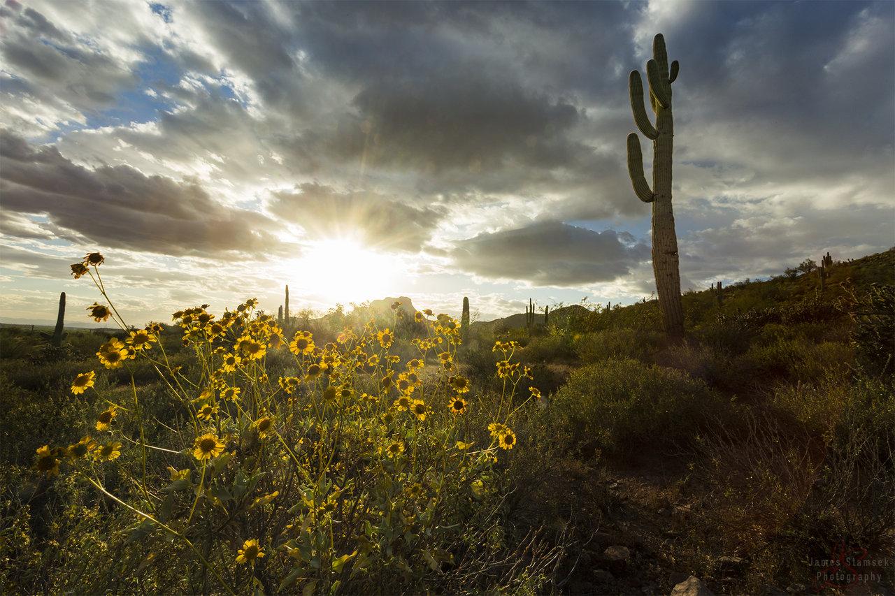 SaguaroFlowersDone.jpg
