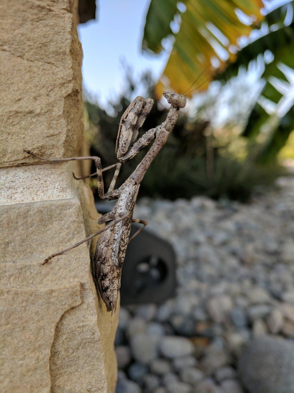Praying Mantis Brown.jpg