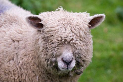 put-wool-over-eyes-idioms-vocabulary-pics.jpg