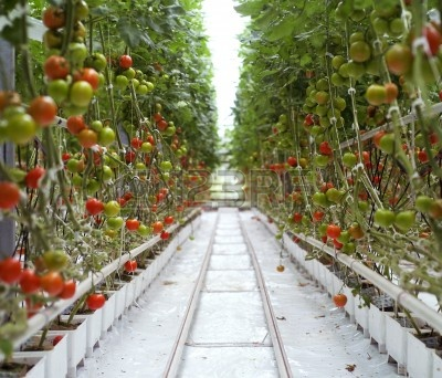 12600979-rows-of-tomatoes-in-a-greenhouse.jpg