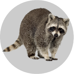 Badge_Raccoon.png